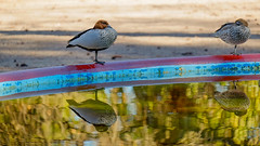 Ducks (Erich Schieber) Tags: reflection bird animal park water fountain duck australia cookpark