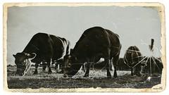 Broutage (Un jour en France) Tags: vache cow campagne nature soleil contrejour sepia bocage canoneos6dmarkii canonef1635mmf28liiusm noiretblanc noiretblancfrance