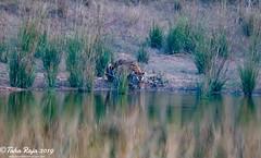 Wildlife of Kanha and Bhandhavgarh National Parks (taharaja) Tags: agrafort babytaj mp tigers sunset tajmahal redfort spotteddeer birds wildboars eagles bandhavgarh owls kanha madhyaparadesh india itmaduddaula sambadeer nationalpark saltrees agra sunrise jabalpur bandhogarh madhyapradesh