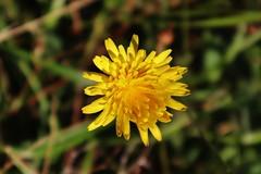 Wild Flower (Hugo von Schreck) Tags: hugovonschreck flower blume blüte macro makro efm1545mmf3563isstm canoneosm50