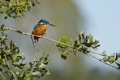 K32P9684c  Kingfisher, Lackford Lakes, October 2019 (bobchappell55) Tags: alcedoatthis lackfordlakes suffolk bird kingfisher nature wild wildlife
