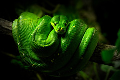 lethal green (steffenbinder.photography) Tags: snake wildlife nature animals green tree python reptile