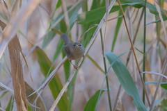 T3SB8903 (jojotaikoyaro) Tags: zenpukuji suginami tokyo japan fujifilm bird animal nature wildlife xt3 xf100400mm