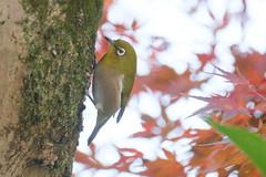 T3SB8882 (jojotaikoyaro) Tags: zenpukuji suginami tokyo japan fujifilm bird animal nature wildlife xt3 xf100400mm