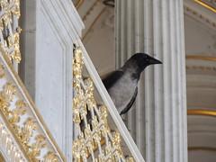 Hooded Crow (Anita363) Tags: russia palace museum stpetersburg hermitage smallhermitage pavilionhall peacockpavilion bird fauna crow passeriformes hoodedcrow corvuscornix corvus corvidae