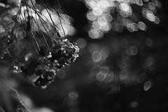 hydrangea (Typ250) Tags: 東京都 日本 leicam leica leicammonochrom monochrome mmonochrom summarex summarex85cm summarex85mm summarexf85cm115