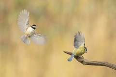 You call that a wing display, This is a wing display (Paul wrights reserved) Tags: coaltit bluetit bird birding birds birdphotography birdwatching birdinflight birdsinflight bokeh bokehphotography nature naturephotography wildlife wildlifephotography wildanimal wing wings animal animals animalantics