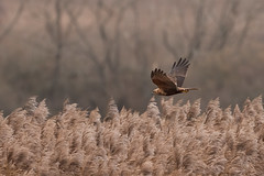 Female Marsh Harrier D85_4539_07December2019 (GadgetGaz_Photo) Tags: copyrightgadgetgazphotogarethjamesforeman garethjamesforeman gadgetgaz gadgetgazphoto gadgetgazphotocom wwwgadgetgazphotocom marshharrier marshharriers femalemarshharrier marshharrierfemale circusaeruginosus