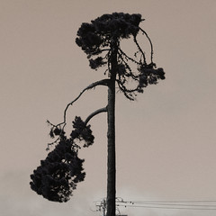 A18291 / a fine looking tree (janeland) Tags: colma california 94014 tree silhouette hueshift square desaturated september 2018