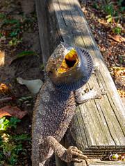 2019 Bearded Dragon-081161 (Life is so Short) Tags: beardeddragon burnettheads fauna