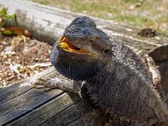 2019 Bearded Dragon-081155 (Life is so Short) Tags: beardeddragon burnettheads fauna
