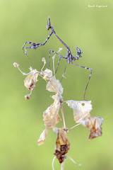 Empusa pennata (Raul Espino) Tags: 2019 canon100mml canon6dmarkii macro macrofotografia natural naturaleza sevilla insectos empusa empusapennata