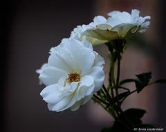 White Roses (leendert3) Tags: leonmolenaar southafrica flowers magoebaskloof limpopoprovince drakensbergmoutains