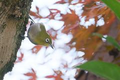 T3SB8873 (jojotaikoyaro) Tags: zenpukuji suginami tokyo japan fujifilm bird animal nature wildlife xt3 xf100400mm