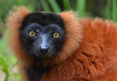 Red ruffed lemur - Varecia rubra (johco266) Tags: redruffedlemur vareciarubra lemur lemuur lemuren lémuriens nature natuur natur naturaleza macro macrophotography madagascar mammal mammifère animal animals andasibe coth5