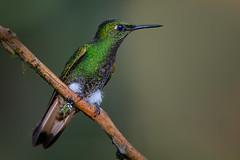 Buff-tailed coronet (Eric Gofreed) Tags: boissonneauaflavescen bufftailedcoronet ecuador hummingbird