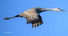Sandhill Crane (eddieh10) Tags: sandhill crane wildlife sky d850 sandhillcrane