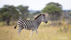 Zebra - Kruger National Park (BenSMontgomery) Tags: zebra kruger national park south africa wildlife sanpark