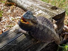 2019 Bearded Dragon-081158 (Life is so Short) Tags: beardeddragon burnettheads fauna