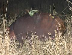 Hippo. Kruger National Park. South Africa. Oct/2019 (EKatBoec) Tags: hippo kruger national park south africa oct2019