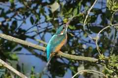 K32P9797aa  Kingfisher, Lackford Lakes, October 2019 (bobchappell55) Tags: alcedoatthis lackfordlakes suffolk bird kingfisher nature wild wildlife