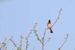 Black-fronted Bulbul (chlorophonia) Tags: birds pycnonotidae animals vertebrates blackfrontedbulbul animalia bulbuls pycnonotusnigricans windhoek khomasregion namibia