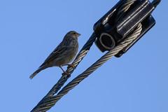 Black-throated Canary (chlorophonia) Tags: fringillidae birds animals blackthroatedcanary vertebrates animalia crithagraatrogularis crossbillsandallies siskins windhoek khomasregion namibia