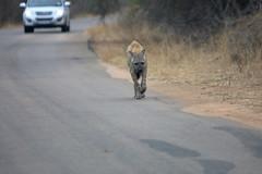Spotted Hyena. Kruger National Park. South Africa. Oct/2019 (EKatBoec) Tags: spotted hyena kruger national park south africa oct2019