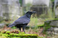 Corneille noire (olivier.ghettem) Tags: paris cimetière cimetièredupèrelachaise corneillenoire corneille graveyard oiseau bird cemetery crow passereau corvuscorone