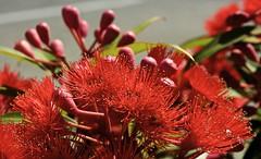 Banksia Burst (Padmacara) Tags: banksia flower macro australia fremantle d7100 tamron28300 red closeup