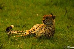 MASAI MARA (RLuna (Instagram @rluna1982)) Tags: kenya africa fauna solioranch aberdares nyeri topo naturaleza bufalo acacia rinoceronte naivasha rift thompson naroc guepardo leon girafa cebra gacela grulla cocodrilo lago elefante masai mara nakuru amboseli kilimanjaro ukunda safari todoterreno 4x4 viaje vacaciones holidays photo canon rluna rluna1982 karibu hakunamatata polepole wildlife sunset sunrise sun serengueti kenianairlines instagram flysafarilink raid enduro offroad motobike bike motocross moto spotlight onroad instagramapp photography portrait people me camera natural lignt igers igersspain igersmadrid eos