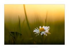 Gänseblümchen (Marcus Hellwig) Tags: blüte blume makro macro makrofoto makroaufnahme gelb grün green yellow licht lichtstimmung light detail bokeh natur nature