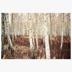 (mariuszlemiecha) Tags: canonrebelt2 sigma50mmart fujicolorpro400h fujipro400h birchtree forest analog 35mm filmphotography warsaw poland