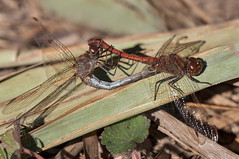 Sympetrum striolatum (Charpentier 1840) (ajmtster) Tags: macrofotografía macro insecto insectos libelulas odonatos copula amt sympetrumstriolatum sympetrum striolatum dragonflies dragonfly