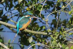K32P9786aa  Kingfisher, Lackford Lakes, October 2019 (bobchappell55) Tags: alcedoatthis lackfordlakes suffolk bird kingfisher nature wild wildlife