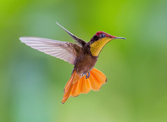 Ruby Topaz Hummingbird in flight dancing in the air, Tucusito Rubi, Trinidad. Chrysolampis mosquitus. (pedro lastra) Tags: hummingbird trinidad colombia florida flight macro tropical bird america trochilidae aves chordata apodiformes