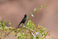 Mountain Wheatear (chlorophonia) Tags: birds animals mountainwheatear muscicapidae vertebrates animalia myrmecocichlamonticola oenanthemonticola oldworldflycatchers erongoregion namibia