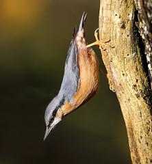 Nuthatch (Steve Boolds) Tags: canon canoneos5dmkiv canon600mmf4 nuthatch wildlife wildlifephotography bird britishgardenbirds birdphotography britishbirds