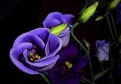 Lisianthus (abrideu) Tags: abrideu panasonicdmctz20 lisianthus macro purple flowers depthoffield bright bokeh bouquet