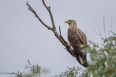 Pigargo europeo White-tailed Sea-eagle (Haliaeetus albicilla) (Corriplaya) Tags: aves rumania pigargoeuropeo whitetailedseaeagle haliaeetusalbicilla