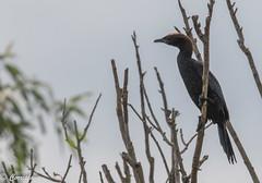Cormorán pigmeo Pygmy Cormorant (Microcarbo pygmaeus) (Corriplaya) Tags: aves rumania cormoránpigmeo pygmycormorant microcarbopygmaeus