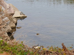 Red-eared slider turtles (Trachemys scripta elegans, ミシシッピアカミミガメ) (Greg Peterson in Japan) Tags: ritto 滋賀県 japan shiga 栗東市 動物 ミシシッピアカミミガメ wildlife turtles shigaprefecture