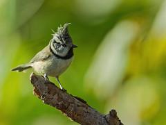 Mésange huppée 1 (Nicopope) Tags: mésange huppée automne oiseau oiseaux bird birds vogel vögel nature branche nikon wildlife