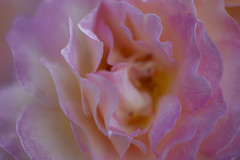 The Story of a Rose 3 (axelord101) Tags: photography macro flower rose colors naturallight