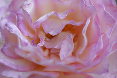 The Story of a Rose 5 (axelord101) Tags: photography macro flower rose colors naturallight