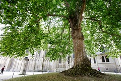 The wise tree (cigno5!) Tags: tree leaves arbredelaliberté libertytree normandy frenchrevolution symbol wide daylight green branches