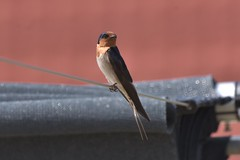 Welcome Swallow (Luke6876) Tags: welcomeswallow swallow bird animal wildlife australianwildlife nature
