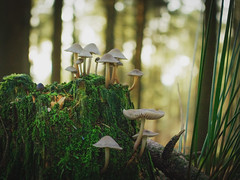 Winter Sun (angieburns17) Tags: trees winter sun sunlight green mushroom woods forrest nature moss lancashire treestump beaconfell
