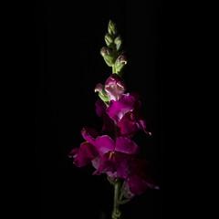 P3II1136 (Ian Luc) Tags: flower nature flora water shadows outside lowkey pentax k3 100mmmacro closeup fun