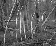 Wild woods (str.ainer) Tags: mamiya rb67 sekorc90mm ilford fp4 adox fx39 nationalparkbayerischerwald bavarianforest nationalpark wald forest woods